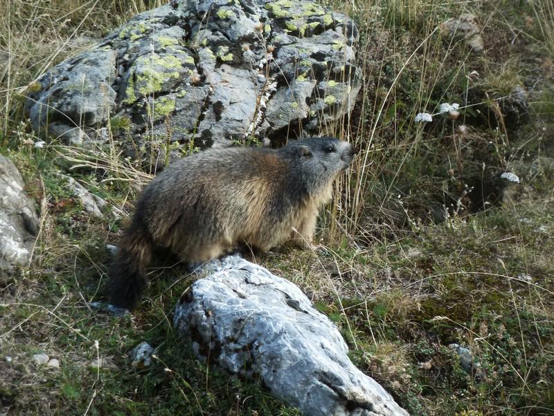Marmotte à Prapic